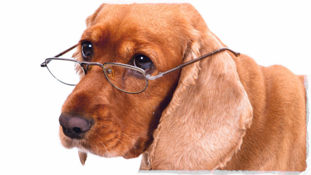 Old dog with spectacles